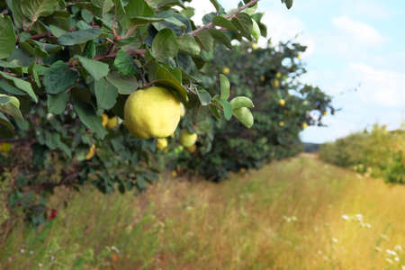 Ripe fruits of quince in nursery. Organic yellow quince apples on tree. Harvest in autumn. Sunny day. Close up.