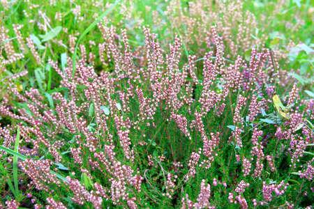 Close up flowering Calluna vulgaris, common heather. Selective focus of purple flowers on meadow. Reklamní fotografie