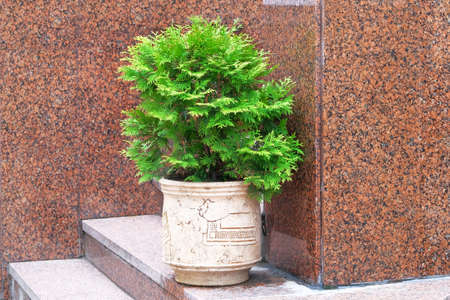 Cypress in outdoors pot. Thuja occidentalis danica in container, coniferous trees. Landscape design in city.