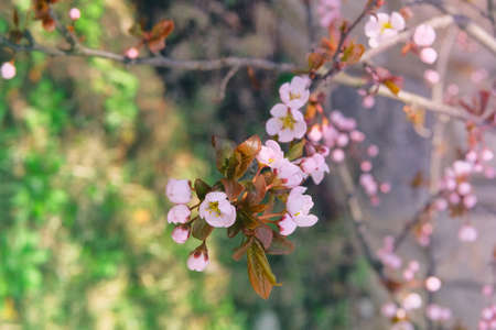 Apricot flowers blooming with light bright petals. Greeting card for Womens day. Spring blurred background of nature, pink color.