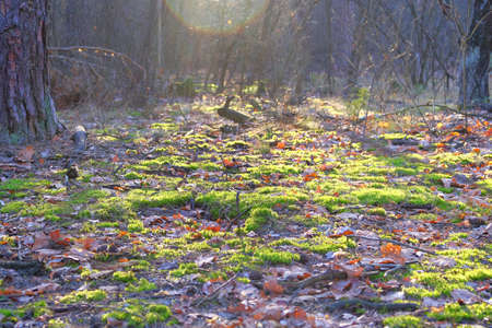 Spring in clearing in coniferous forest. Ray of sunshine breaks through the trees. Moss grows in forest, wildlife background. Early spring landscape. 写真素材 - 138837743