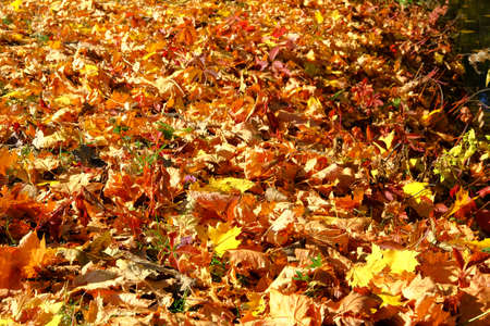 Autumn leaves on the ground. Maple, red, yellow foliage. Outdoor. Leaves on the sun in park. Background group fall orange leaves.
