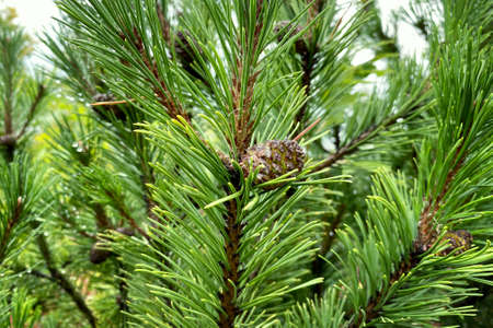 Green fresh fir branch with cones in forest on blurred background. Medicinal fresh plant with rich source of vitamins, minerals, and antioxidants. Pinus sylvestris. Banco de Imagens