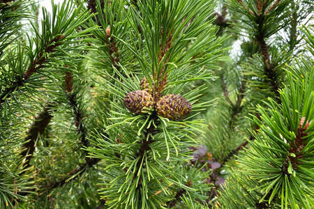 Fir branch with cones in forest on blurred background. Medicinal green plant with rich source of vitamins, minerals, and antioxidants. Pinus sylvestris.