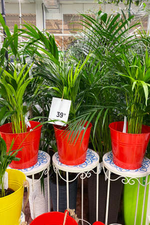 Houseplants in pots in garden shop. Various green plants is sold in store. Planting of greenery. Areca Arecaceae palms.