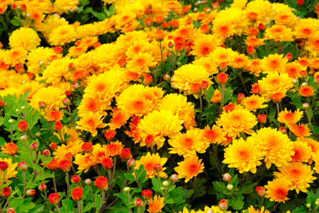 Chrysanthemums in botanical park, greenery in city. Orange flowers chrysanthemums in autumn. Blooming nature background. Banco de Imagens
