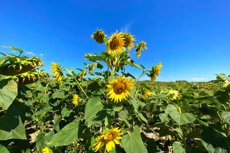 Yellow bright and vibrant sunflowers against the blue sky. Rustic landscape.