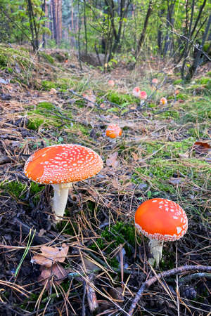 Amanita Muscaria. Many red wild poisonous Fly Agaric mushroom in forest in autumn among dry leaves in forest. Vertical image.