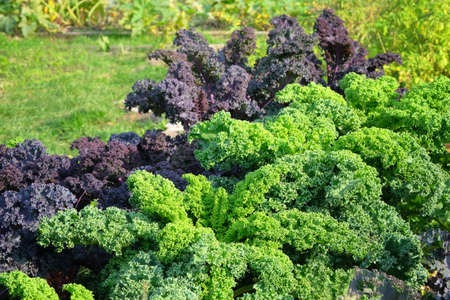 Young, sprouted kale salad growing in the vegetable garden. Kale leaf in farming and harvesting. Growing vegetables at home. Open ground flat bed into the garden.
