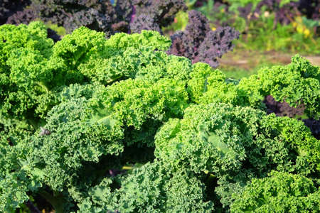 Kale salad growing in the rustic garden. Kale leaf in farming and harvesting. Growing vegetables at home, closeup.
