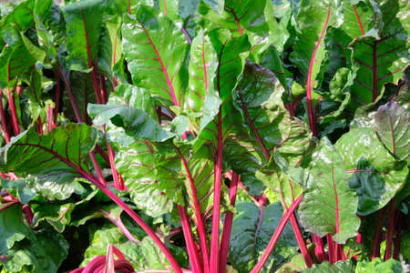Young, sprouted chard growing in the vegetable garden. Chard leaf in farming and harvesting. Growing vegetables at home. Open ground flat bed into the garden. Banco de Imagens