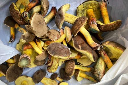 Xerocomus badius mushroom collected in the autumn forest. Autumn vacation in nature.