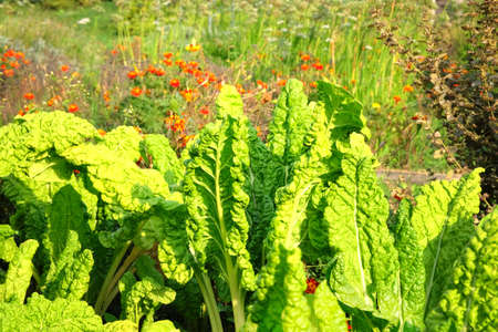 Salad is growing in the vegetable garden. Organic kale leaf in farming and harvesting. Growing green vegetables at home, closeup.