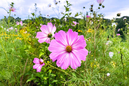 Field of flower, pink wild flower in meadow in sunny summer. Spring with blue sky in background. Grassland style and soft focus.