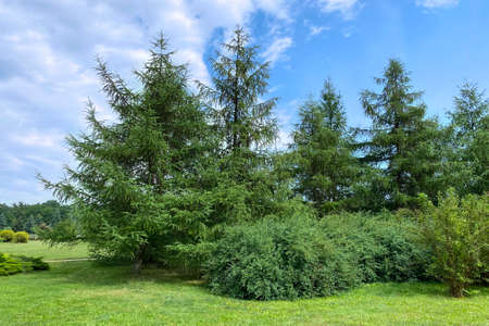 Young green trees of pine in park. Spring nature decoration. Pine-tree and conifer in landscape design.