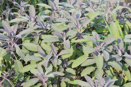 Sage leaves grow in the vegetable garden. Growing spicy spices for further use.