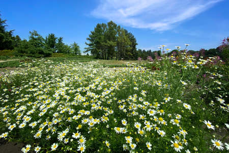 Oxeye daisy, Leucanthemum vulgare. Flowering of daisies in the summer green meadow in park. Chamomile flowers with long white petals. Herb in flowerbed. Banco de Imagens