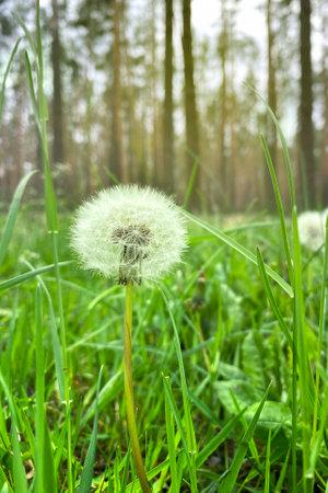 Fluffy dandelion on green meadow in summertime. Summer landscape in forest. Fluffy dandelion seed image.