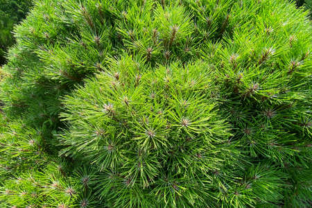 Gardening and landscaping with fresh green decorative trees and plants. Branches of evergreen conifers in a spring city park.
