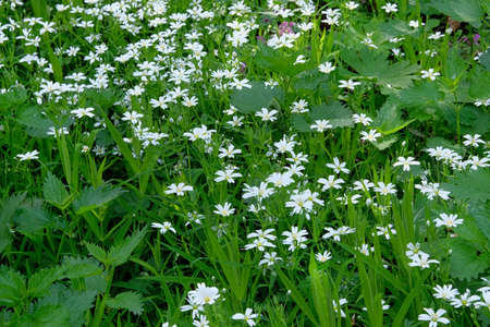 White dandelion on green meadow in summertime. Summer landscape in forest. Stellaria media flowers, close up.