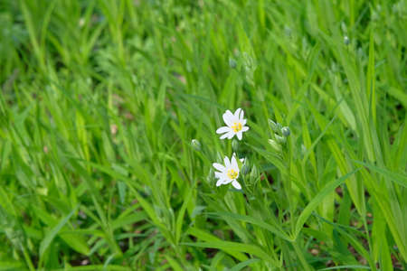 Stellaria media flowers, close up. Floral pattern in meadow. Spring and summer white flowers background texture.