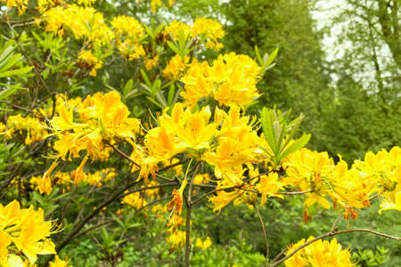 Rhododendron flowers is blooming in spring garden, closeup. Yellow gentle flowers is growing in city park. Landscaping and decoration in springtime season.