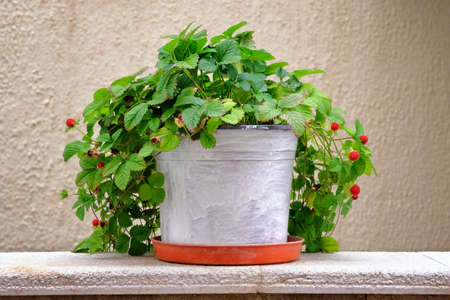 Pot with bush of with green leaves and berries for landscape design. Strawberry bush with red berries in metal flowerpot. Фото со стока