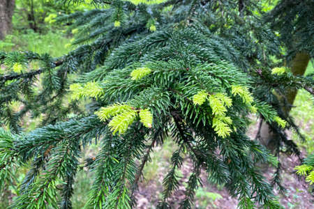 Young green branches of spruce in forest, closeup. Spring nature background. Landscape design. Фото со стока