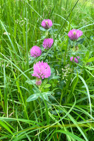 Pink clover flowers with tender petals. Flowering of clover in the sunny summer wild meadow. Bright beautiful field.