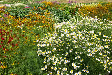 Chamomile flowers with long white petals. Flowering of daisies in summer wild meadow. Medicinal herb and picturesque landscape. Фото со стока