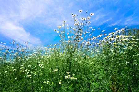 Chamomile flowers with long white petals. Flowering of daisies in the sunny summer wild meadow. Medicinal herb and sunny picturesque landscape.