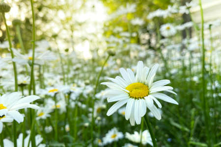 Chamomile flowers with long white petals. Flowering of daisies in the sunny summer wild meadow. Bright beautiful field.