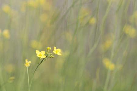 Arugula flower with blurred background