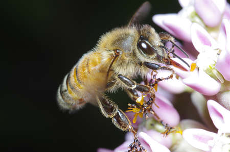 lonley: Bee feeding at small white  and pink flower.