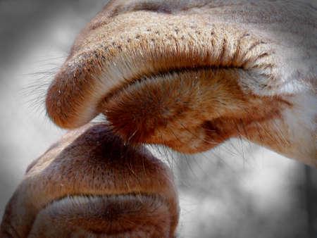 nostrils: Giraffe lips meeting in touch.