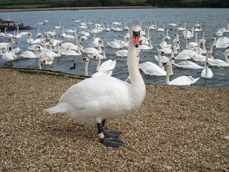 Swan are the largest members of the duck family Anatidae, and are amongst the largest flying birds. Swans usually mate for life. photo
