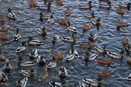 Number of ducks, seeking for water during period of frost photo