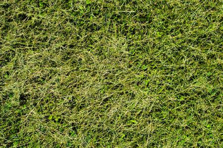 cut grass: Green cut grass texture