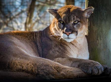 Relaxing beautiful cougar looking ahead close up