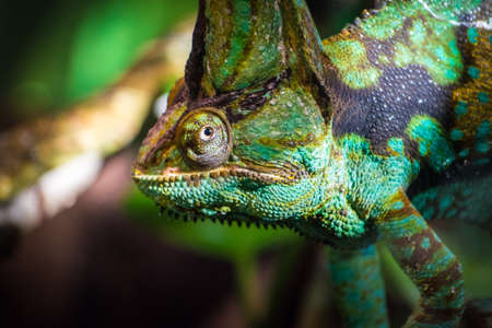 African rainforest veiled chameleon looking close up from branch