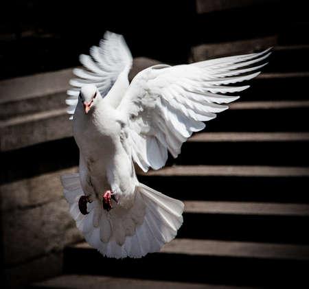 palomas volando: Paloma blanca que vuela Foto de archivo