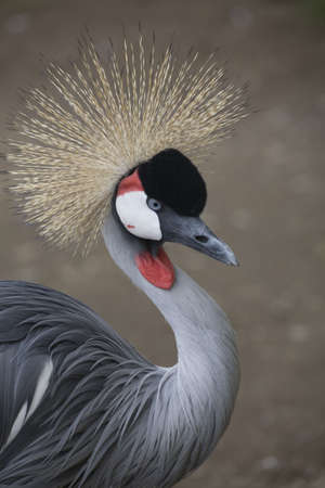 Southern Crowned Crane Portrait Close Up photo