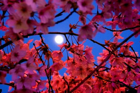 Moon shining through Cherry Blossoms in Spring