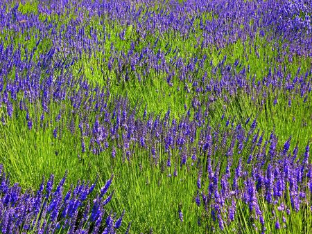 abstracted: Picture of Lavendar Fields Abstracted to look like impressionistic painting Stock Photo