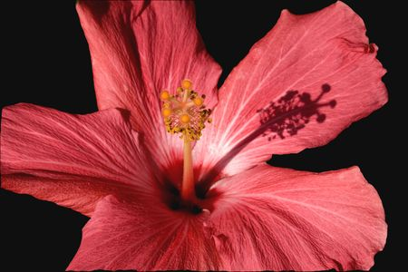 Pink Hibiscus Close Up Macro with shadow Stock Photo - 2781185