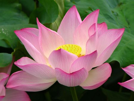 Pink Lotus Blooming and Close Up.  Lotus Pond, West Lake, Hangzhou, China