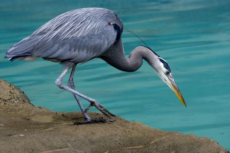 Great Blue Heron Close Up Looking for fish photo