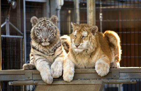Royal White Tiger Cub and Golden Bengal Tiger Cub.  There are only 300 Royal White Tigers in the World and very few Golden Bengal Tigers. Stock Photo - 2782917