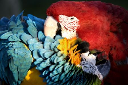Red Green Winged Macaw and Blue and Gold Macaw Playing with a Love Bite Stock Photo - 2783011