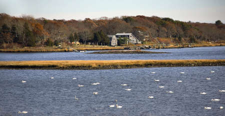 Snow Geese and Swans in Russells Mills River, Dartmouth, Massachusetts Stock Photo - 2783007